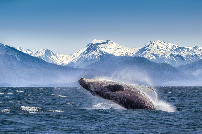 A Whale breaches in the Alaskan waters.